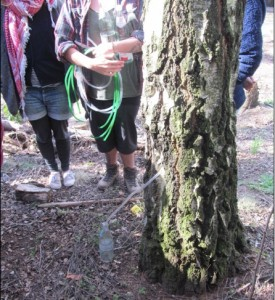 Showing tapping methods for birchtrees